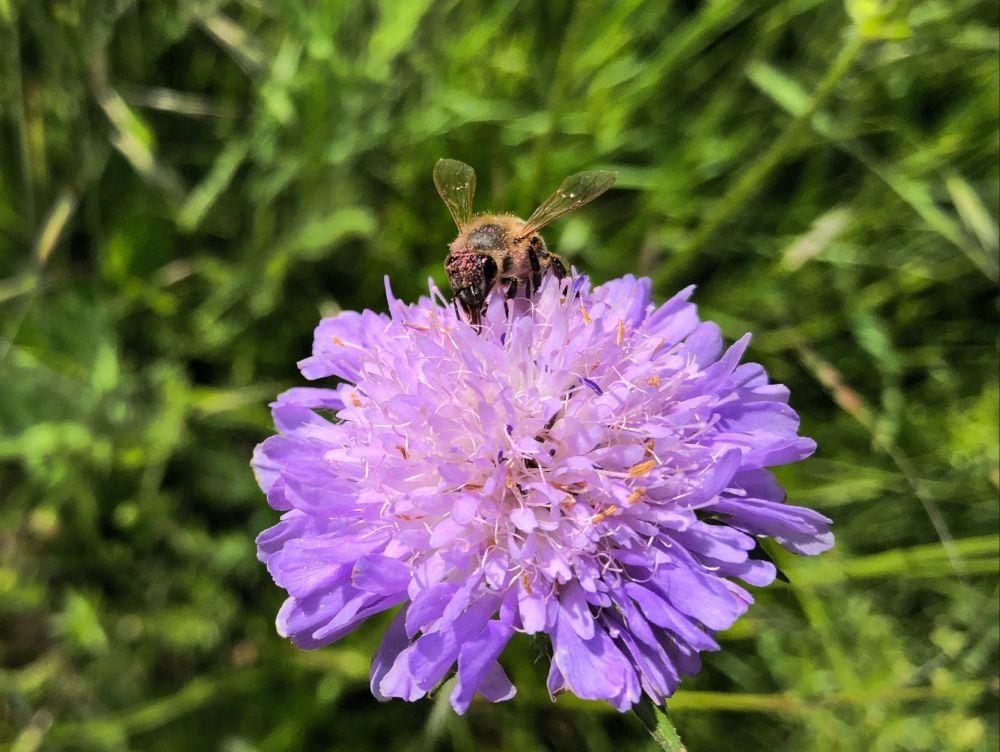 Buckelseidenbiene auf Wiesen-Witwenblume