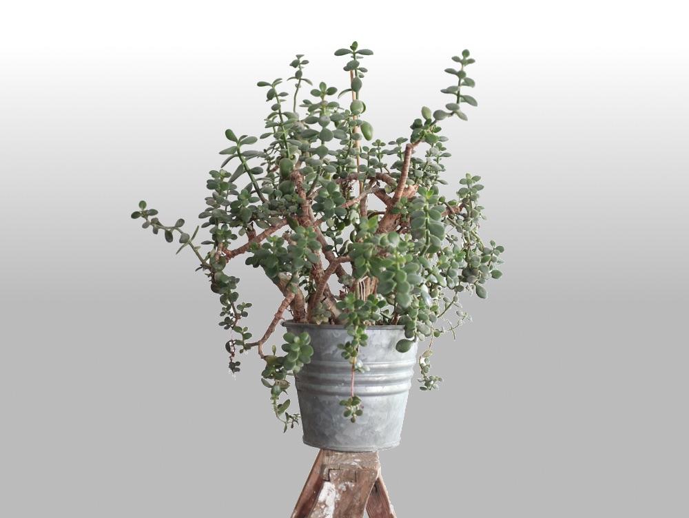 Geldbaum: Crassula Ovata. Von vorne zu sehen. Zimmerpflanze auf Leiter im Blumentopf.