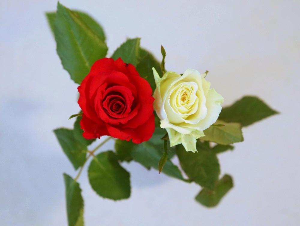 Rote und Weiße Rose: Symbole der Liebe und Märchenpromis
