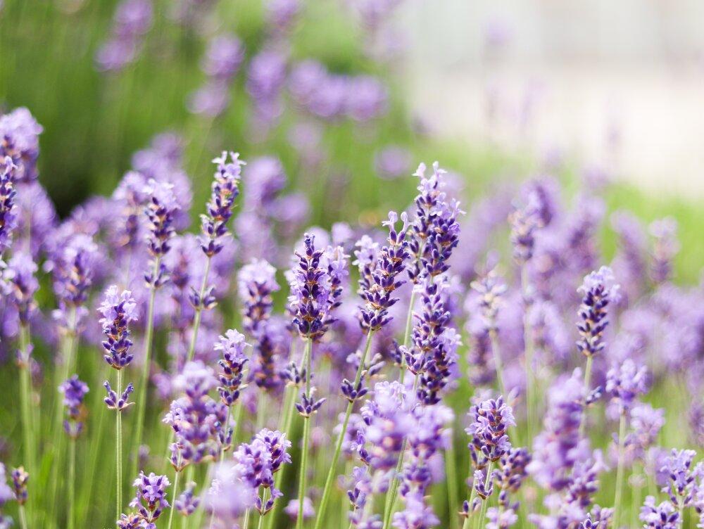 Violetter bis hell-violetter Lavendel zu Beginn seiner Blütezeit